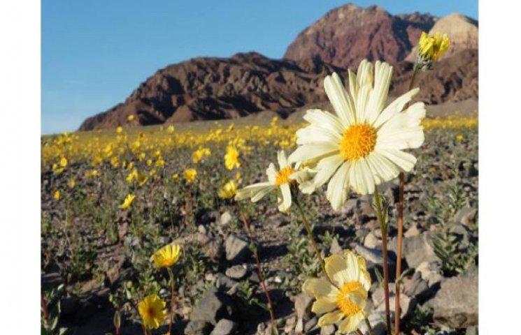 Вперше за останнє десятиліття зацвіла Долина Смерті
