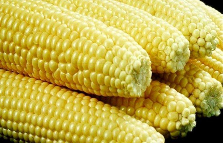 Три врожаї цукрової кукурудзи на рік на Хмельниччині є реальністю