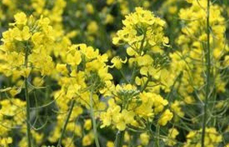 На Хмельниччині пропало 10% посівів ріпаку