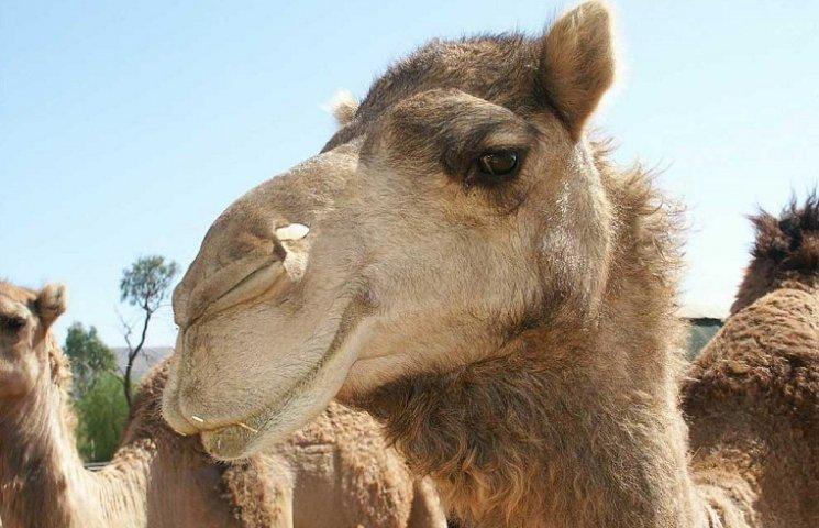 У Тернополі хочуть купити верблюда за 110 тис. грн