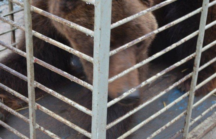 """Бурий ведмідь Балу сьогодні, 24 лютого, відправився з Запоріжжя на Закарпаття – в центр реабілітації ведмедів """"Синевір"""""""