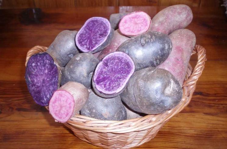 Разноцветный внутри картофель вывели укр…