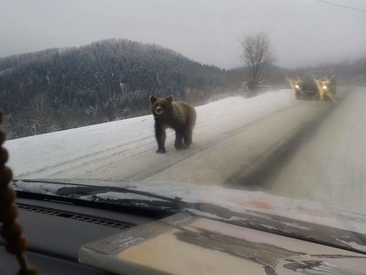 Поблизу Закарпаття ведмідь прокинувся від сплячки і вийшов на трасу до автівок