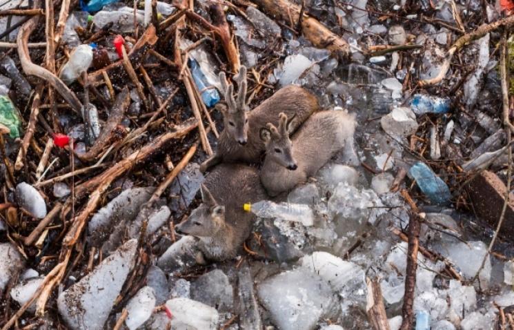 Дикі тварини страждають від льодоходу