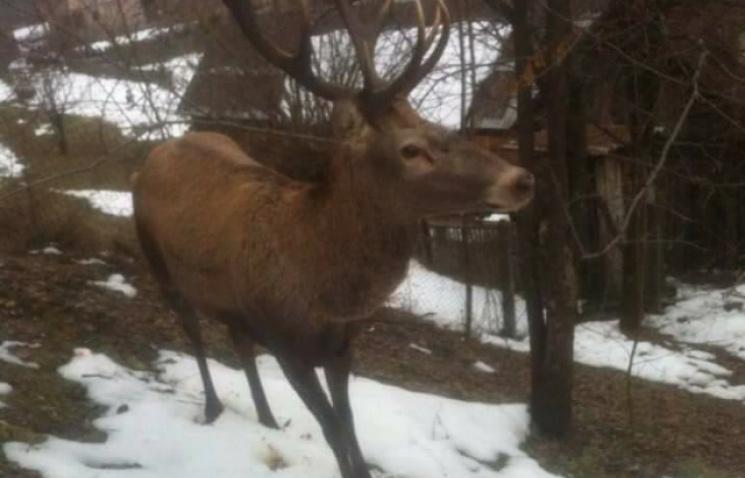 На Закарпатті поранений олень прийшов у село до людей за допомогою