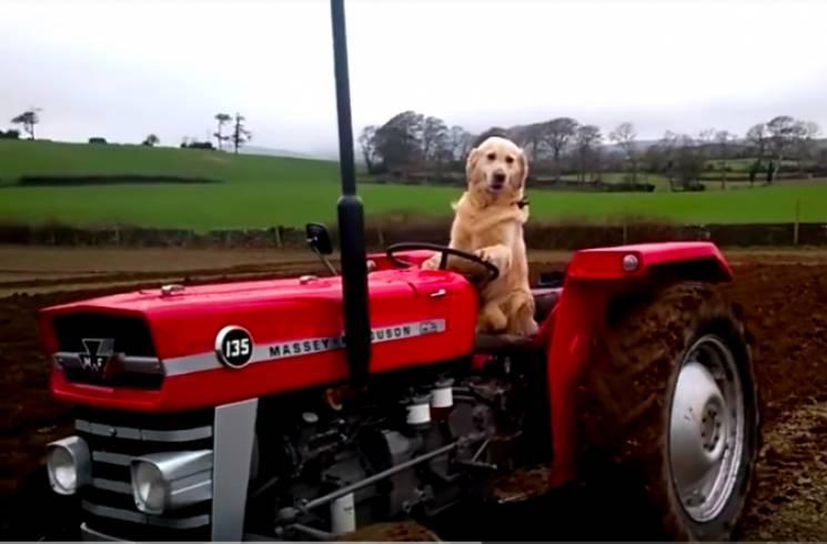 Як фермерові-ірландцю допомогає господарювати пес (ФОТО, ВІДЕО)