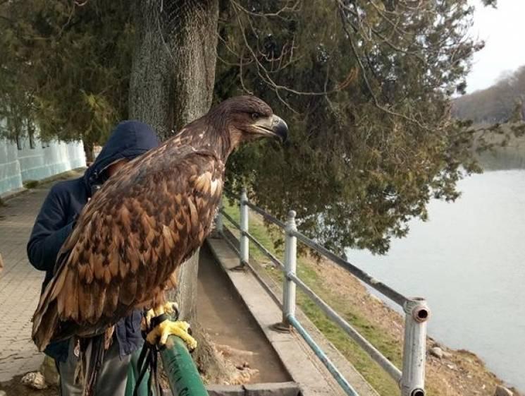 У центрі Ужгорода рятували з неволі пораненого орла (ФОТО)