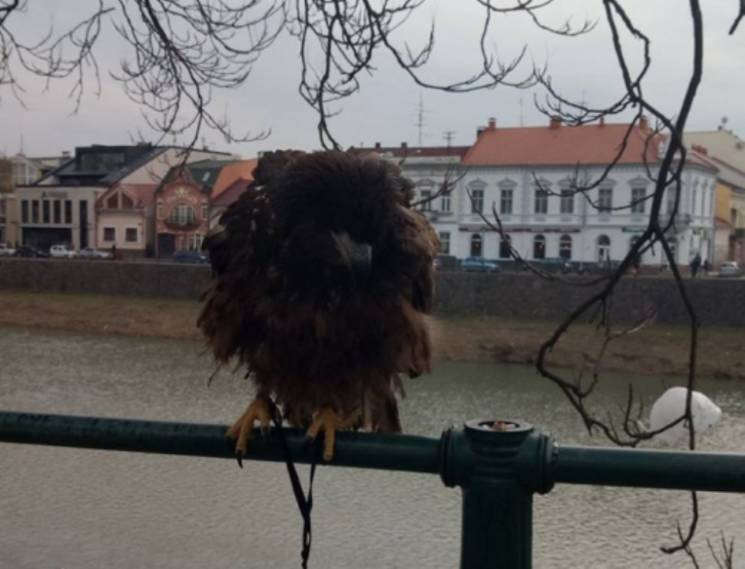 "Врятованого в Ужгороді з ""рабства"" червонокнижного орла доправлять до Синевиру"