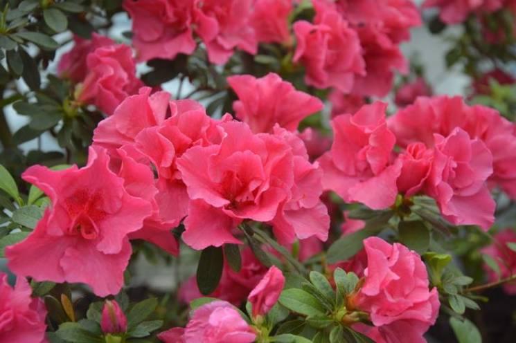 У Кривому Розі розквітли азалії (ФОТО)