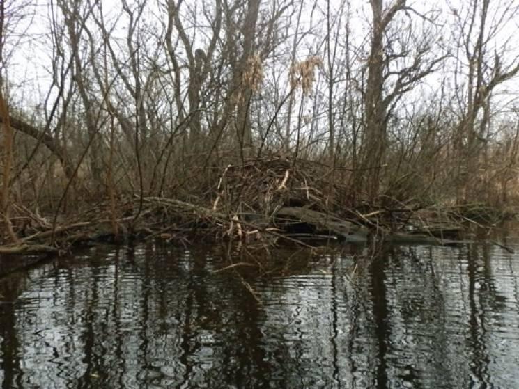 """На Херсонщині потужна колонія бобрів-""""будівельників"""" знищує річку (ФОТО)"""