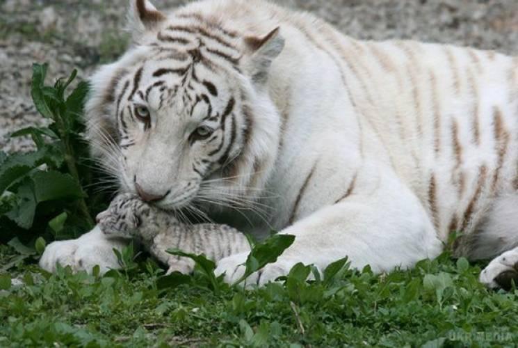 В зоопарке оккупированной Ялты умерла Ти…