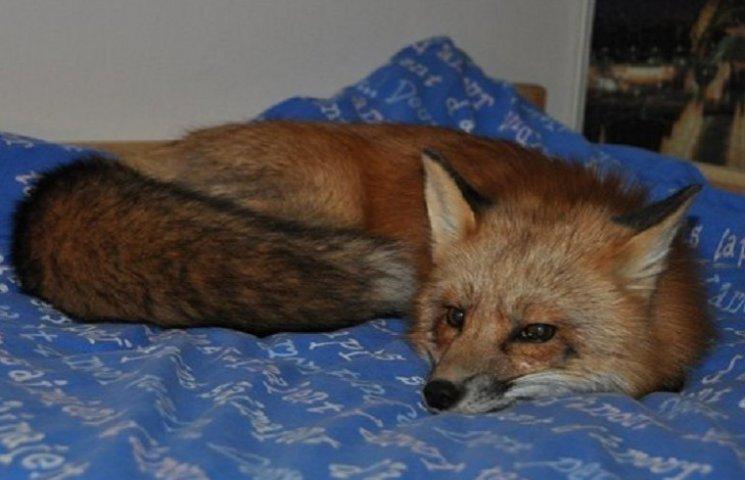 Как мужчина спас лису от смерти и что из нее выросло
