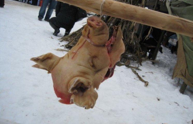 """Зоозахисники просять поважати права свиней, яких """"масово вбивають"""" на закарпатському фестивалі"""
