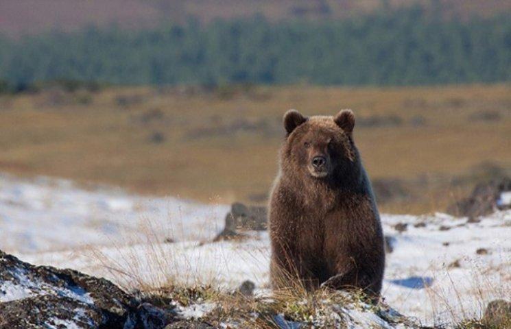 Гуляти Карпатами небезпечно - прокинулися ведмеді