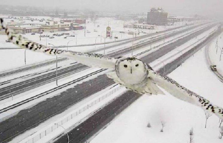 Як камера спостереження заскочила неймовірно чудову снігову сову