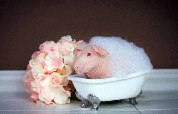 Як лиса морська свинка приймає ванну