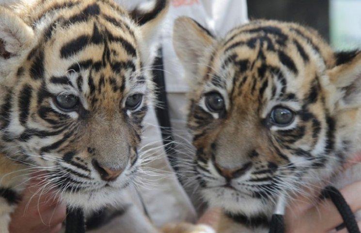 Как двое невероятных тигрят поселились в Австралии