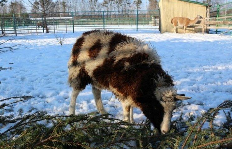 У вінницькому зоопарку просять не зносити їм сухі ялинки