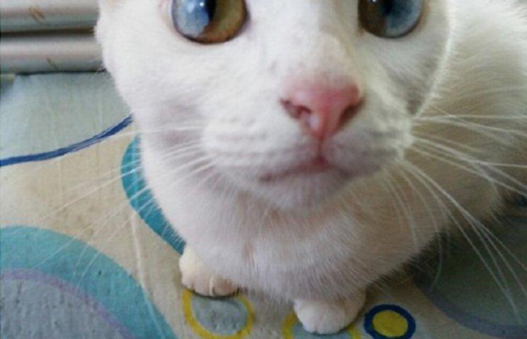 Як виглядають кішки із різнокольоровими очима