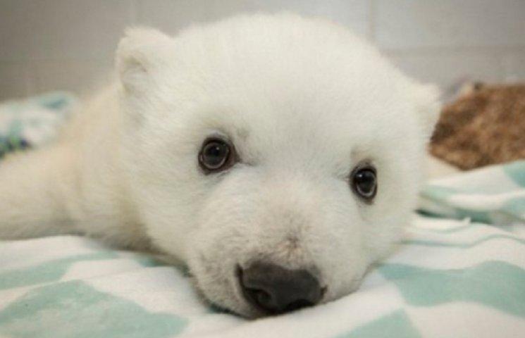 Как назвать милого полярного медвежонка