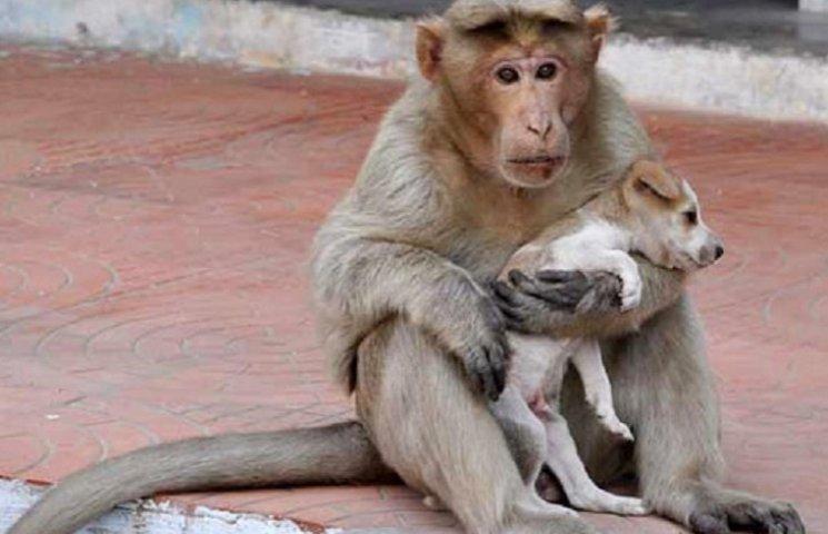 Як мавпа всиновила цуценя