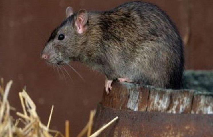 В Ужгороді - нашестя пацюків