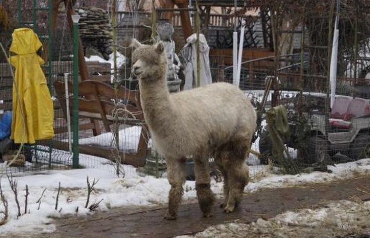 Вінничани поселили у своєму дворі альпаку