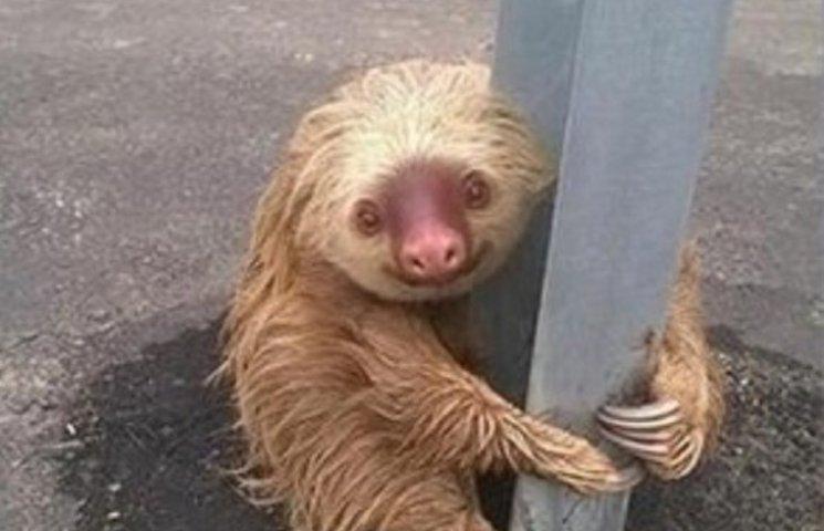 Как забавный ленивец застрял посреди автобана