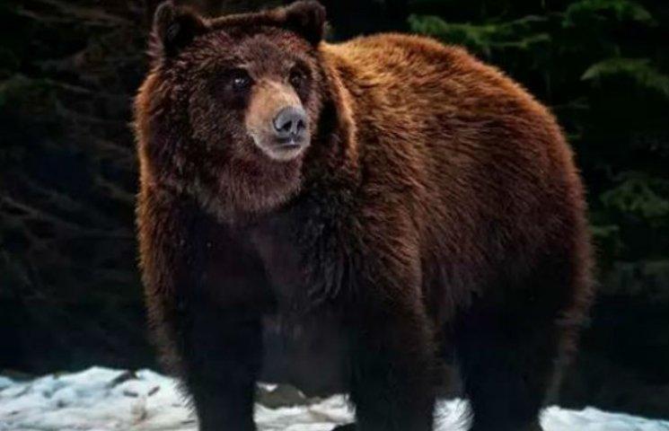 На России лесорубы убили спящего медведя ради его лап и желчи