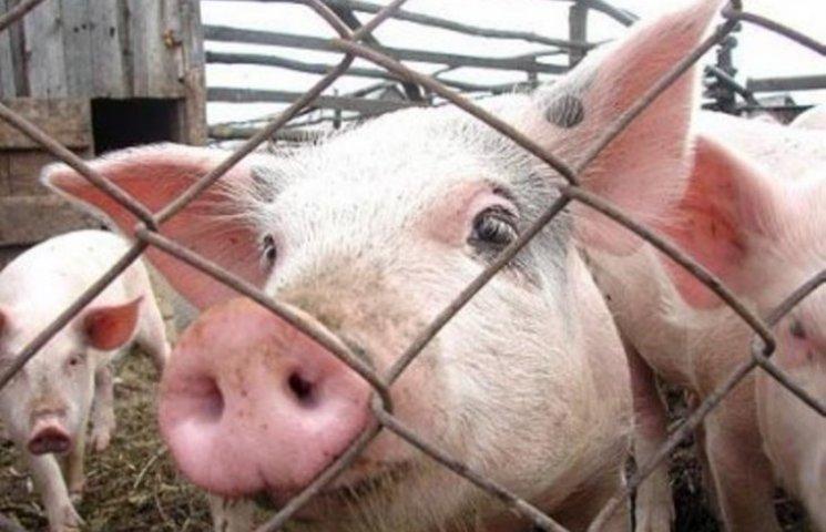 Активісти покажуть угорському послу, що свині та різники мають однакові права