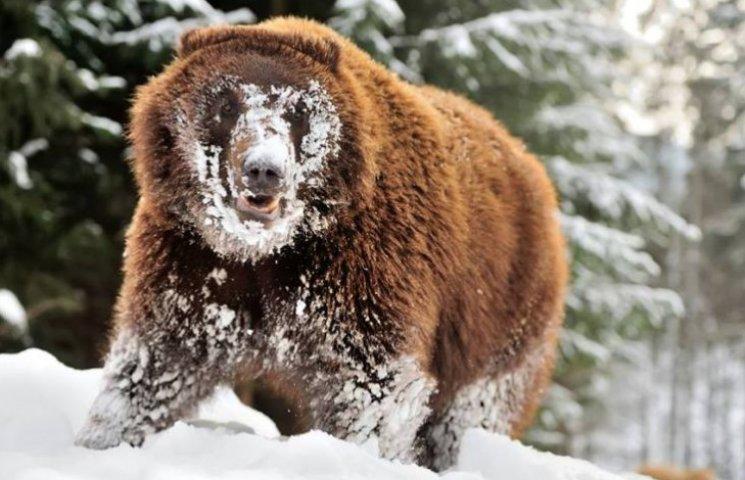 Як розважаються ведмеді на реабілітації у Синевирському парку