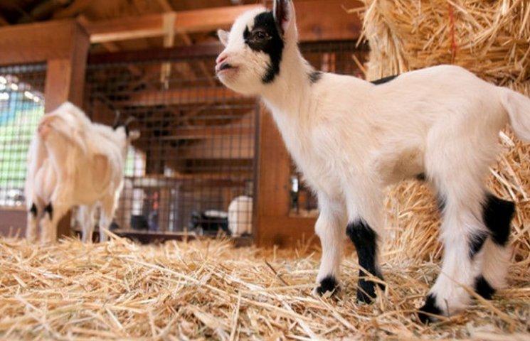 У 2017 році у вінницькому зоопарку народилися ягнята та козенята