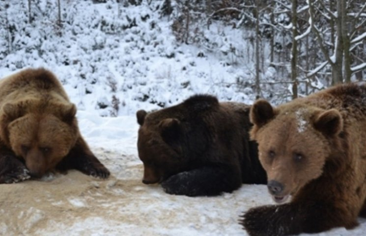 Медведицу с зоозоны Днипра отвезут на Синевир