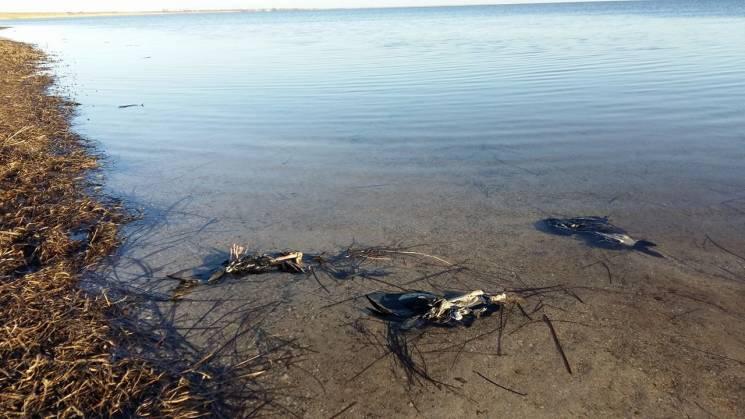Птахів, трупи яких винесло на херсонське узбережжя, могли заморити в анексованому Криму