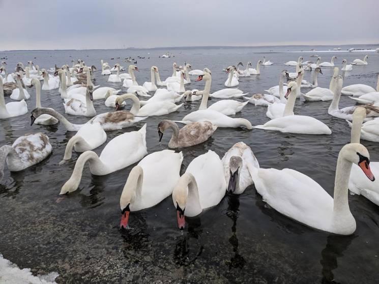 Зимова лебедина атракція: На водосховищі в Нетішині знову зимують сотні птахів (ФОТО, ВІДЕО)