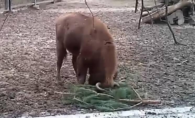 У миколаївському зоопарку молоді зубри граються ялинками (ВІДЕО)