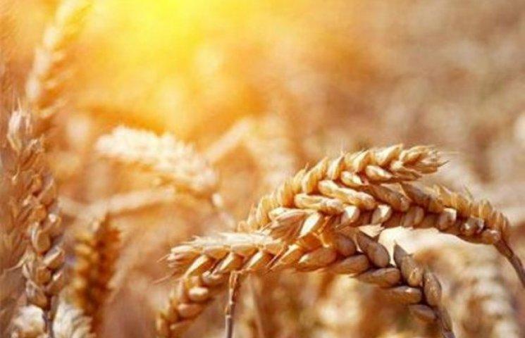 """""""Золотий"""" урожай закарпатці збирають без особливого ентузіазму (ВІДЕО)"""