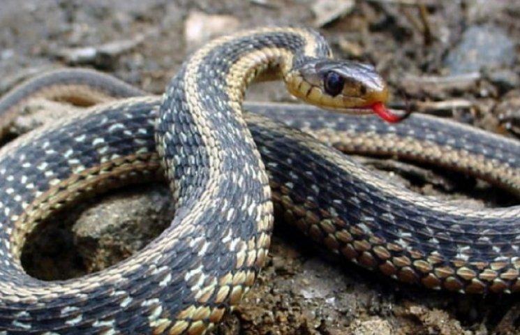 Закарпатець опинився у реанімації через укус змії