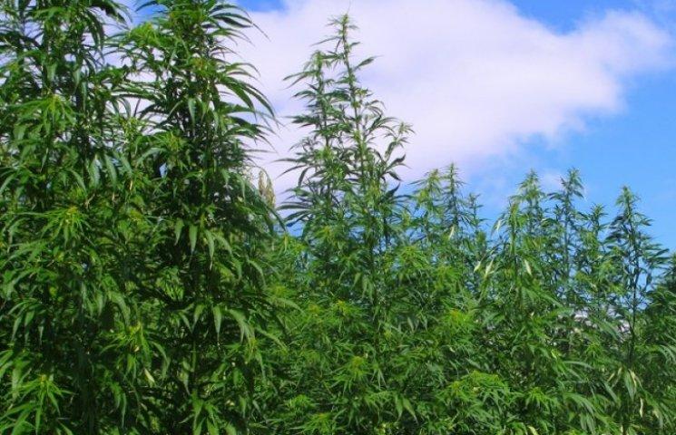 У Машівці чоловік вирощував наркотики на городі