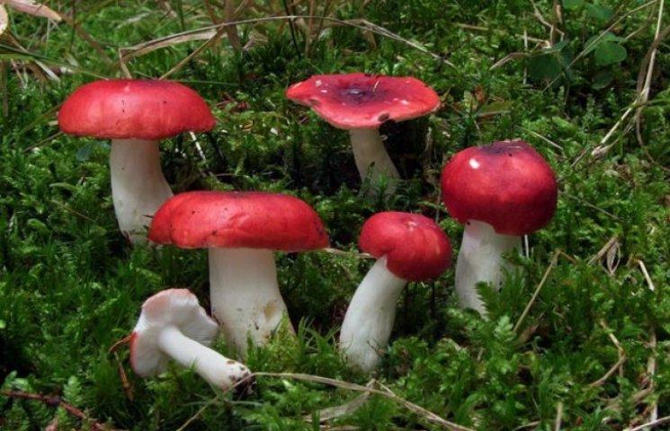 """На Сумщині перша жертва """"тихого полювання"""": Через отруєння грибами померла людина"""