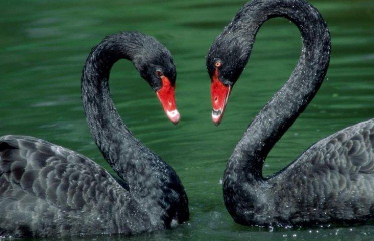 В Подільському зоопарку з'явилися чорні лебеді і двогорба верблюдиця