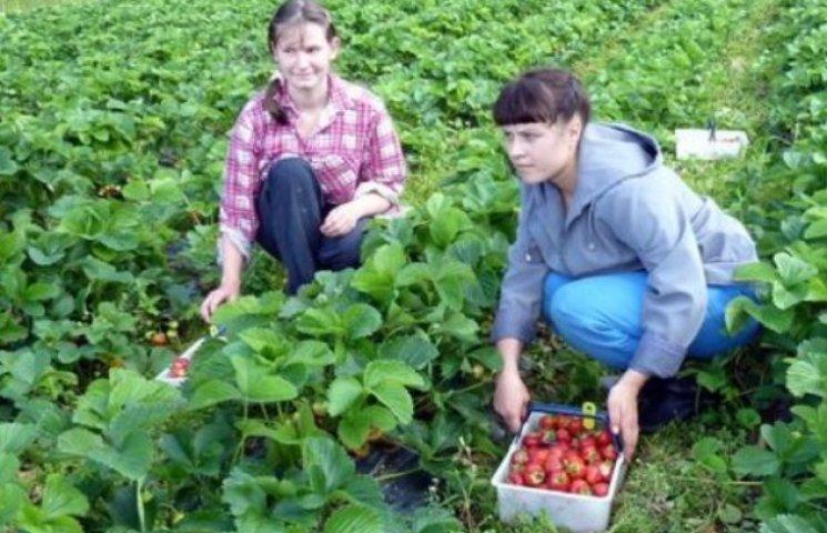 Вінницькі переселенці відмовляються збирати полуницю