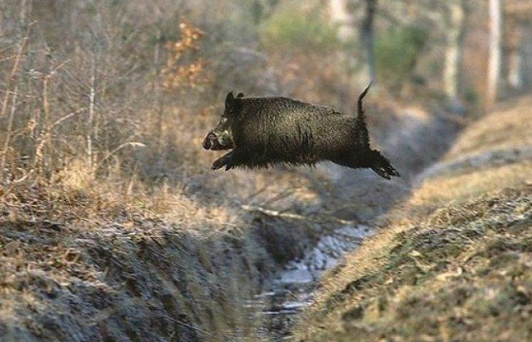 На Сумщині активізується африканська чума свиней у популяції кабанів