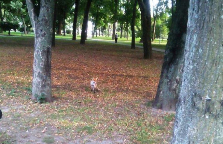 У центрі Полтави бігає лисиця