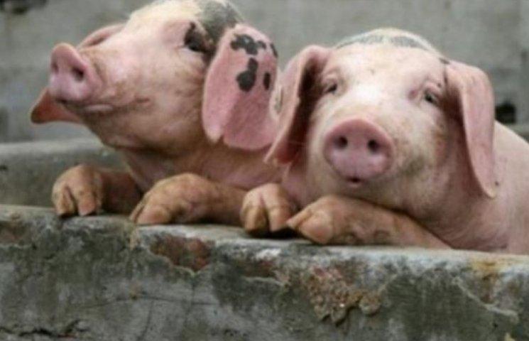 В Первомайській РДА запевнили, що нових спалахів африканської чуми свиней немає