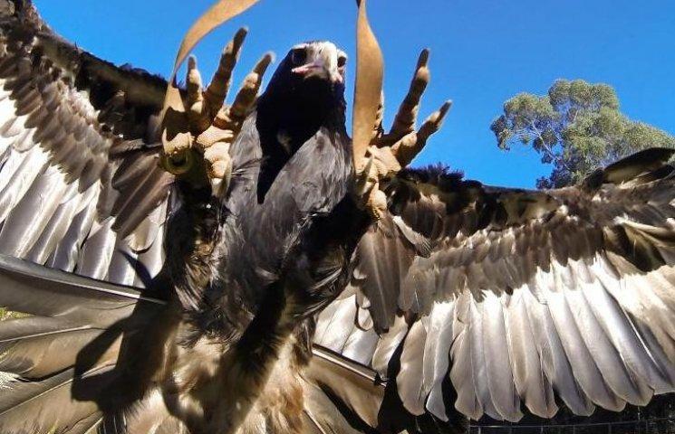 В Австралии гигантский орел едва не унес ребенка