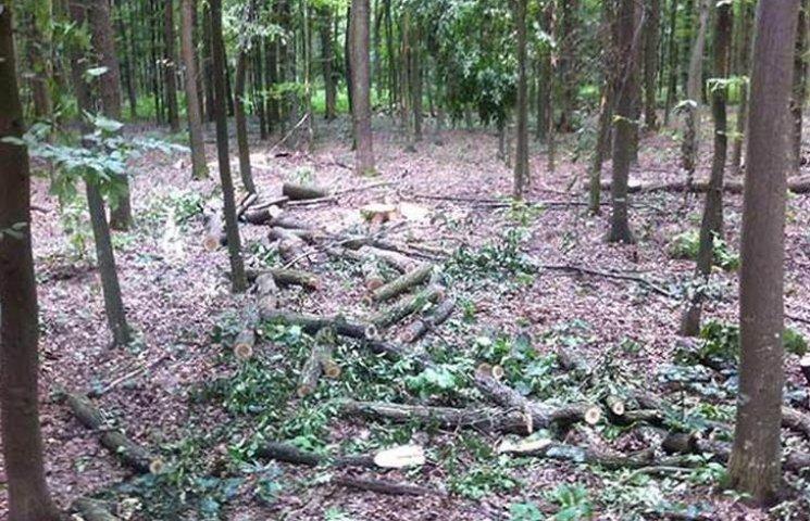 Немирівські лісники незаконно вирубали 6 гектарів дубів