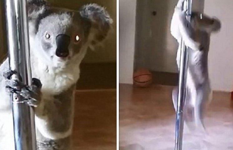Коала, которая танцует на шесте стриптиз, взорвала интернет