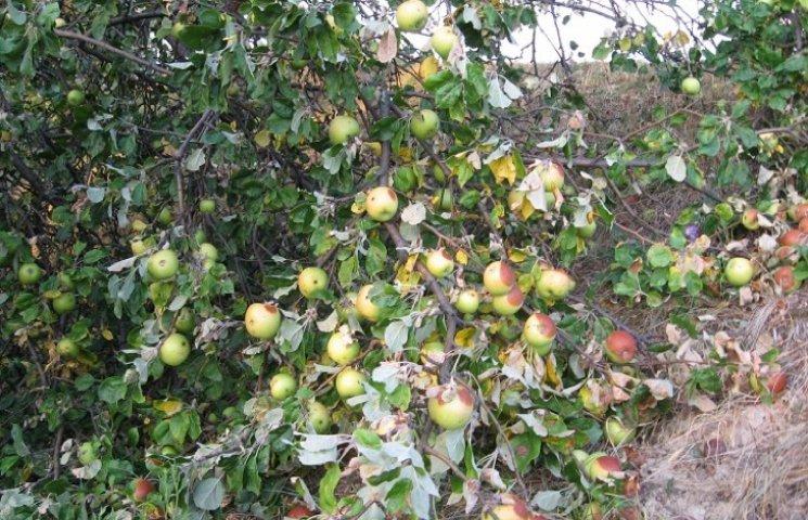 На Хмельниччині негода знищила від 20 до 100% врожаю яблук