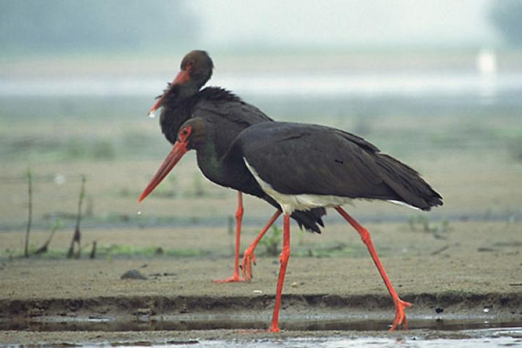 УКиївському зоопарку поповнення— пташенята рідкісного чорного лелеки